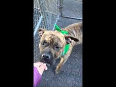 GOLIATH – A1064936 | Help us Save NYC AC&C Shelter Dogs