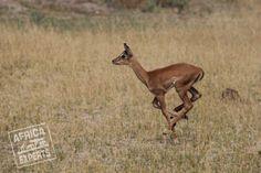 Botswanan eläimet Kangaroo, Safari, Animals, Baby Bjorn, Animales, Animaux, Animal, Animais