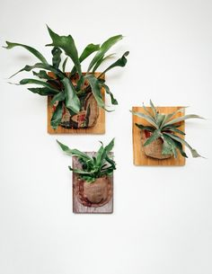 Staghorn Ferns get their name from the large, bifurcated, antler-like fronds that shoot out dramatically from the center of the plant. As epiphytes that grow naturally in the crooks of tree trunks, th #indoorgardeningatrium