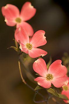 40 Best Dogwood Flowers Images Dogwood Flowers Flowers