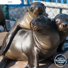 Sea lion pup hugs are too precious! These three youngsters received care at SeaWorld's Rescue Center during California's #2015SeaLionCrisis. #365DaysOfRescue