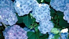 Shrubs for Morning Sun (Hydrangea spp.), thrive in cool, moist conditions and do best when exposed to morning sun, but protected from the harsh rays of afternoon sunlight. Try Hydrangea quercifolia, or the oak leaf hydrangea. This plant features large pan Hydrangea Shrub, Plants, Endless Summer Hydrangea, Growing Hydrangeas, Shrubs, Flowers, Smooth Hydrangea, Container Gardening, Garden