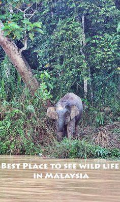 Spotting pygmy elephants along the banks of Kinabatangan river in Malaysian Borneo