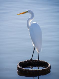 'egret' by Andrew McKinlay on flickr. Loreto, Baja California Sur, Mexico