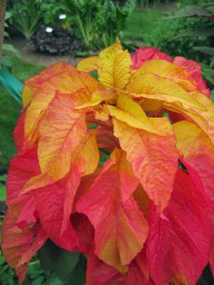 'Illumination' summer poinsettia (Amaranthus tricolor)