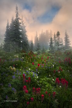 ~~Morning Glory | fog, bear grass and red paintbrush, Mount Rainier National Park, Washington | by Perri Schelat~~