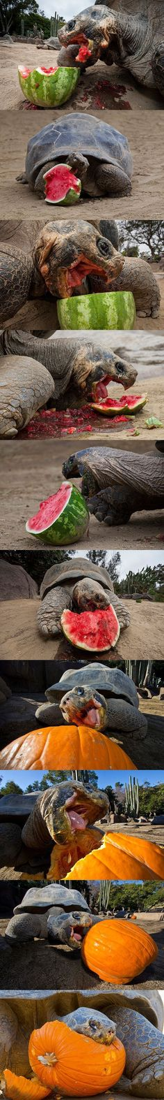 10 photos of Galapagos tortoises chowing down at San Diego Zoo. Sulcata Tortoise, Tortoise Care, Giant Tortoise, Tortoise Turtle, Reptiles And Amphibians, Mammals, Beautiful Creatures, Animals Beautiful, Kinds Of Turtles
