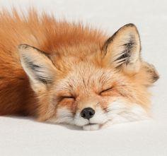 Sleeping Fox by Les Piccolo