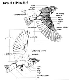Anatomy of a flying bird.  This will be good for anatomically accurate wings...