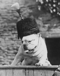 A bulldog wearing a guardsman's hat with a horsehair plume at the Hanham Abbots Kennels in Gloucestershire, 16th February 1935. Pinned by Judi Crowe.