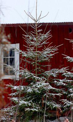 christmas trees red barn