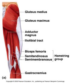 Do you have lateral knee pain, restless leg syndrome, plantar fasciitis, low back pain or get hamstring cramps after sitting too long? This post is for YOU Hamstring Muscles, Thigh Muscles, Anatomy Organs, Human Body Anatomy, Yoga Anatomy, Gross Anatomy, Thigh Muscle Anatomy, Muscular System Anatomy, Thighs