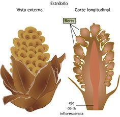 inflorescencia estróbilo - Pesquisa Google