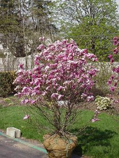 small trees for landscaping | Dense small tree with sweet fragrant white double flowers, early ...