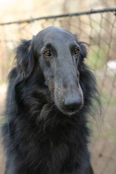 Black Animals, Animals And Pets, Funny Animals, Cute Animals, Borzoi Dog, Whippets, Russian Wolfhound, Puppies And Kitties, Doggies