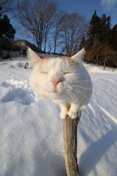 #cat #white #winter