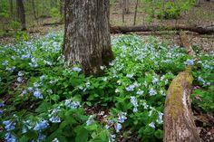 Bluebells at Al Foster Trail. Photo taken by Park Ranger Steve Tiemann. #stlconature