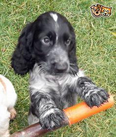 Show type cocker spaniel puppy Gainsborough, Lincolnshire Perro Cocker Spaniel, Blue Roan Cocker Spaniel, Show Cocker Spaniel, English Cocker Spaniel Puppies, Cockapoo Puppies, Cute Puppies, Cute Dogs, Dogs And Puppies, Doggies