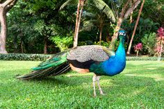Realistic Graphic DOWNLOAD (.ai, .psd) :: http://sourcecodes.pro/pinterest-itmid-1007044375i.html ... Peacock ...  Peafowl, animal, beak, bird, blue, body, close up, colorful, crest, exotic, feathers, foliage, fowl, garden, grass, head, peacock, standing, tail, trees, tropical, wild  ... Realistic Photo Graphic Print Obejct Business Web Elements Illustration Design Templates ... DOWNLOAD :: http://sourcecodes.pro/pinterest-itmid-1007044375i.html