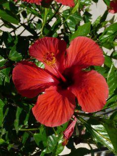 Hibiscus - Episkopi, Crete, Greece