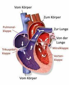 El sistema cardiovascular proporciona a los órganos y tejidos suficiente oxígeno . - El sistema cardiovascular suministra a los órganos y tejidos suficiente oxígeno y elimina los mate - The Human Body, Body Scale, Body To Body, Human Body Anatomy, Human Body Systems, Systems Biology, Nclex, Anatomy And Physiology, Health Fitness
