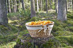 Ihania, keltaisia kantarelleja löytää metsien kätköistä yleensä jo heinäkuun lopulla. Kätevään ja tilavaan sienikoriin (50-601) sienet ja muutkin metsänherkut on helppo kerätä!