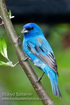 Indigo bunting ~ This is my favorite bird because it is so little and so pretty! One year, a little indigo bunting came to feed almost every day.