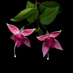 Tulips Flowers, Summer Flowers, Art Flowers, Anchor Wallpaper, Fuchsia Flower, Dark Photography, Flower Fashion, Amazing Flowers, Flower Decorations