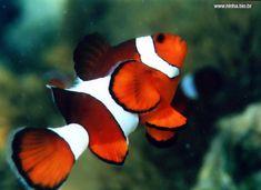 peixe-palhaço                                                                                                                                                                                 Mais