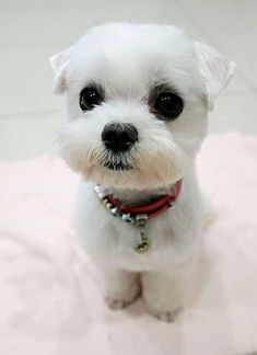 maltese puppy cut - I like this! My poor maltese mix is always getting stuff stuck to his face and ears. I think a cut like this would help him. Little Puppies, Little Dogs, Cute Puppies, Cute Dogs, Dogs And Puppies, Doggies, Animals And Pets, Baby Animals, Cute Animals