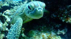 Las tortugas verdes de Florida y México ya no están en peligro de extinción - http://verdenoticias.org/index.php/blog-noticias-diversidad-biologica/243-las-tortugas-verdes-de-florida-y-mexico-ya-no-estan-en-peligro-de-extincion