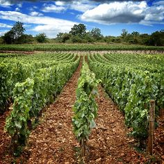 Difficult Montrachet soil helps create extraordinary wines. Photography by Amitié Wines. http://www.amitiewines.com