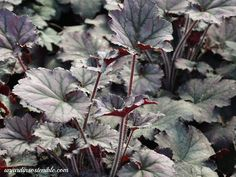 Begonia, Heuchera, Rocky Mountains, Visual Effects, Compost, Small Flowers, Irrigation, Growing Up, Leaves