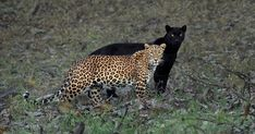 Since 2014, wildlife filmmaker and photographer Mithun H has been pining for sightings of Saya, a black panther that's been eluding his admirers in the Kabini Forest in India for years. After camping … Black Panthers, Black Panther Name, Beaux Couples, Colossal Art, Jungle Safari, Jungle Life, Leopard Spots, Fauna, Bored Panda