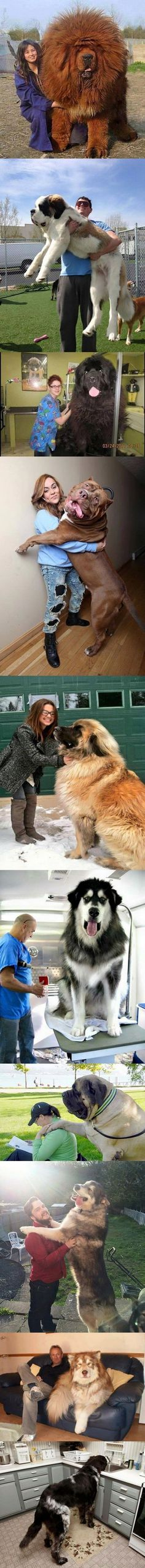 Biggest dogs in the world #dogsfunnytumblr