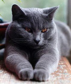 fluffy gray kitty