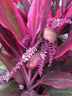 how to take care of a purple passion plant