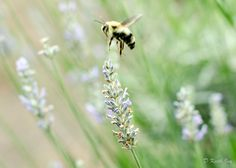 Bumble Bee lighting on Lavender