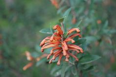 Grevillea Tangerine  Grevillea juniperina ssp juniperina x victoriae Two closely related and very frost tolerant plants have combined their best assets in Tangerine: a dense habit, plentiful tanger…