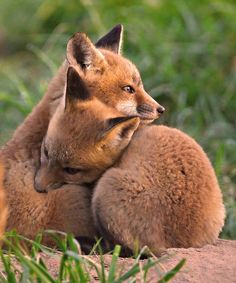 Fox Cubs Cuddle - by William Jobes. I don't wear fur because these beautiful creatures need their fur, we do not! Cute Baby Animals, Animals And Pets, Funny Animals, Wild Animals, Fuchs Baby, Animal Hugs, Cute Fox, Wild Dogs, Tier Fotos