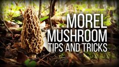 Morel Mushroom Hunting - Tips and observations - Wild Edibles Series
