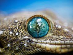 Smith's Green-Eyed Gecko