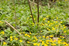 Wild garlic leaves #wildgarlic #bärlauch #woodgarlic #baersgarlic #ramsons #forest #woods #flowers #yeallow #green #beauty #natural