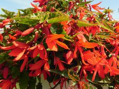 Flowers Begonias Check out the deal on Begonia boliviensis Bossa Nova Orange 36 Strip Tray at Hazzard's Plants Plants, Clay Soil, Flowers, Container Flowers, House Plants, Begonia Boliviensis, Flower Boxes, Rhizome, Flower Garden