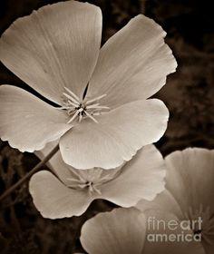 California Poppy Sepia Photograph- Chalet Roome-Rigdon