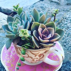 Christmas present for the sister.  Succulents in a tea cup.