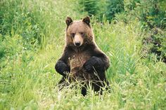 A grizzly bear in Banff National Park.