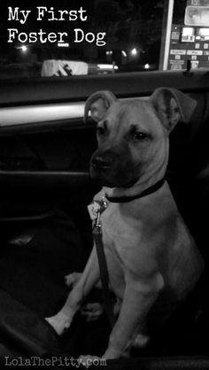 My First Foster Dog - Lola the Pitty OMG, this is exactly what I went through with our first foster! Pitbull Training, Agility Training For Dogs, Dog Agility, Training Your Dog, Training Tips, Puppy Trainer, Foster Animals, Foster Dog, Aggressive Dog