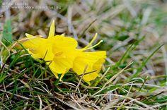Nombre científico: Narcissus bulbocodium L., Provincia/Distrito: Madrid, País: España, Fecha: 17/04/2016, Autor/a: Patxi Establés, Id: 392476