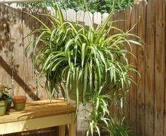 Curly spider plants